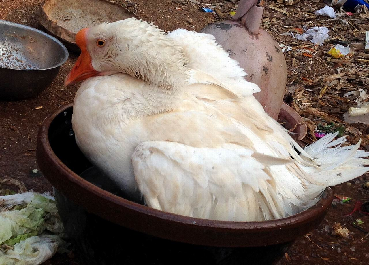 就是洗澡的这只鹅下的这个大鹅蛋
